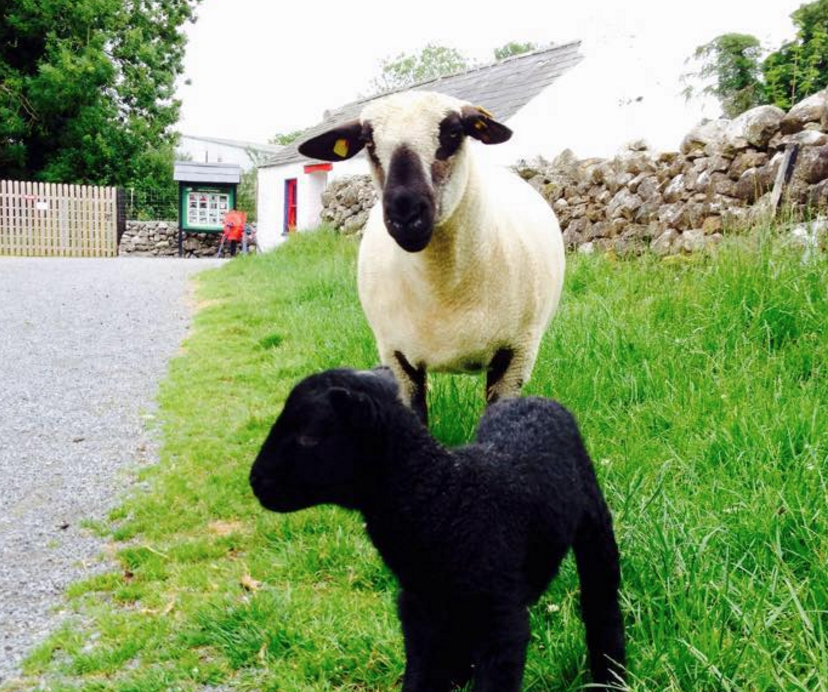Things to do in County Roscommon, Ireland - Glendeer Pet Farm - YourDaysOut