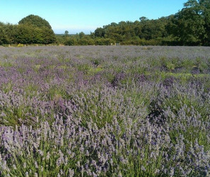 Things to do in County Wexford, Ireland - Wexford Lavender Farm - YourDaysOut